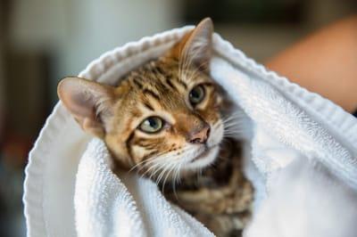 kot w ręczniku