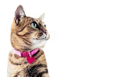 kot z obrożą