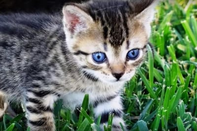 kociak ojos azules
