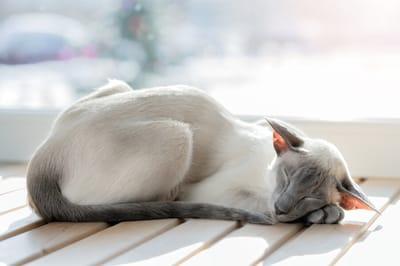 kot orientalny dla alergika
