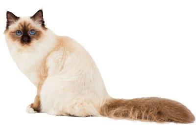 święty kot birmański
