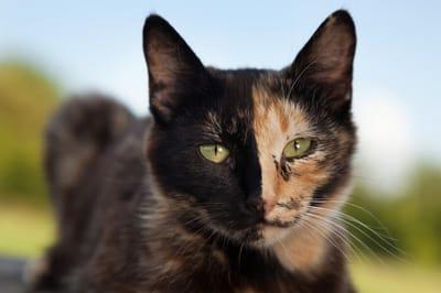 szylkretowy kot