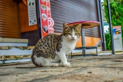 dziki kot