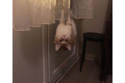 Kot wiszący na firance