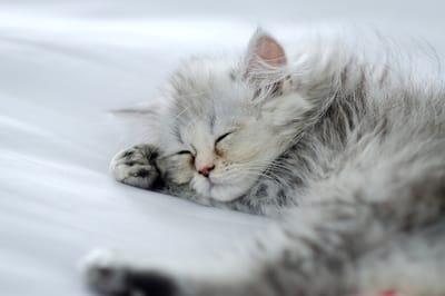 kotek szynszylowy