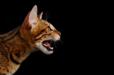 kot miauczy w nocy