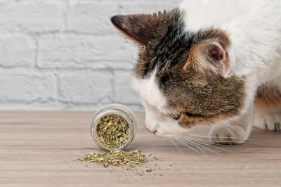 kot wacha kocimiętkę