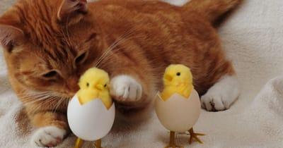 kot i jajka