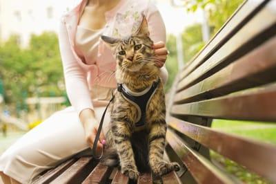 kot w szelkach