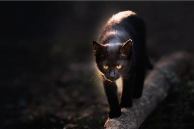 czarny kot na płocie