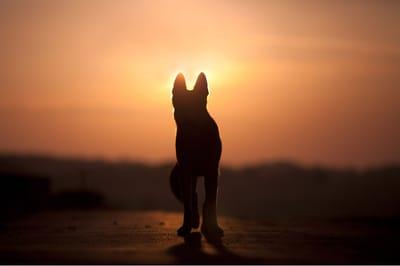 pies o zachodzie słońca