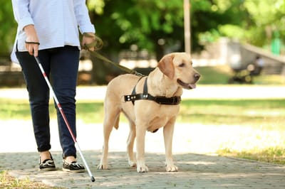 labrador pies przewodnik