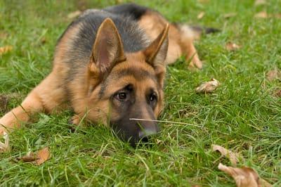 Rosyjskie rasy psów