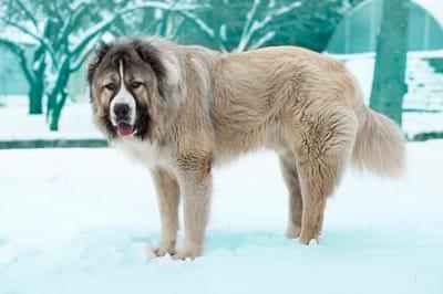 Rosyjskie rasy psy