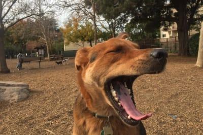 pies ziewa na spacerze
