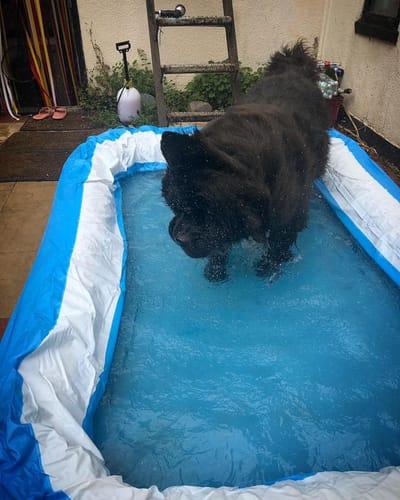 pies Darcy w basenie