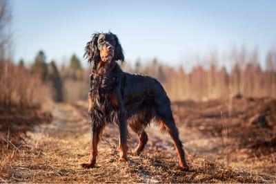 Psy z długimi uszami