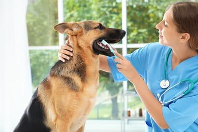 czyszczenie zębów psa u weterynarza