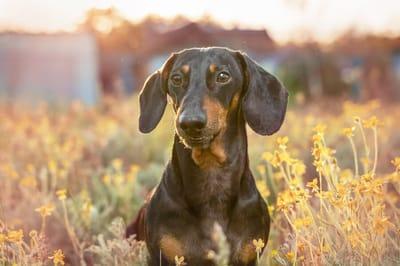Psy z długimi uszami jamnik