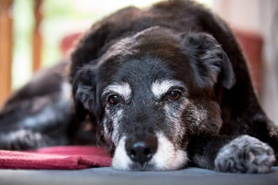choroba cushinga u psa