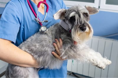 pies na rekach weterynarza