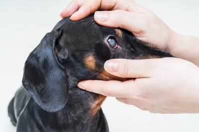 Zaćma u psa