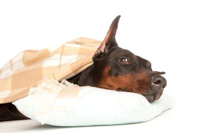 choroba addisona u psa
