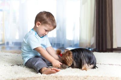 yorkshire terrier z malym chlopcem