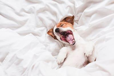 cane che sbadiglia a letto