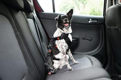 pies w samochodzie przypięty pasami
