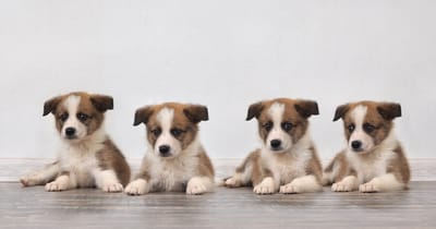 inbred psów