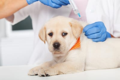 szczepienie psa