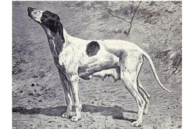 Braque du Puy perro extinto