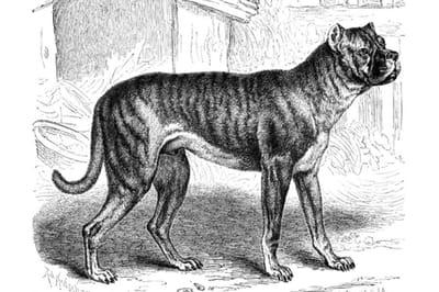 Bullenbeisser perro extinto