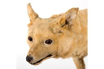 Kuri perro extinto