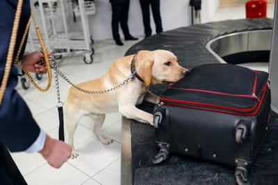 labrador wykrywa przemyt na lotnisku