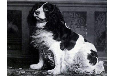 Norfolk spaniel perro extinto