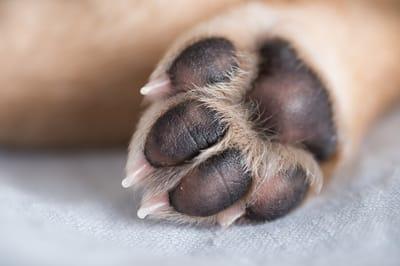psia łapa z bliska