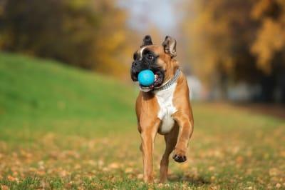 niemiecka rasa psa bokser