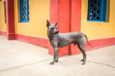 Nagi pies peruwiański