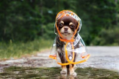 chihuahua w deszczu
