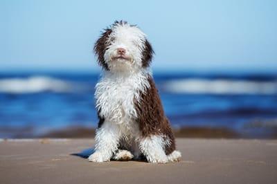 hiszpanski pies dowodny