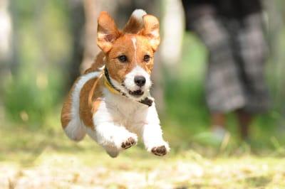 kacj russel terrier