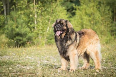 niemiecka rasa psa leonberger