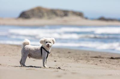 maltipoo na plaży