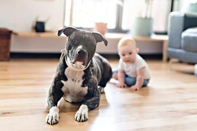 pitbull-z-dzieckiem