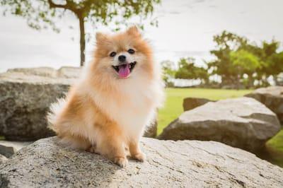niemiecka rasa psa szpic miniaturowy