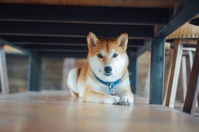 pies shiba pod stołem