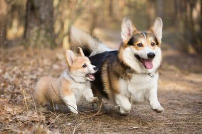 welsh corgi dwa psy