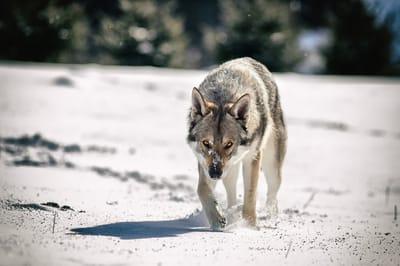 wilczak czechoslowacki
